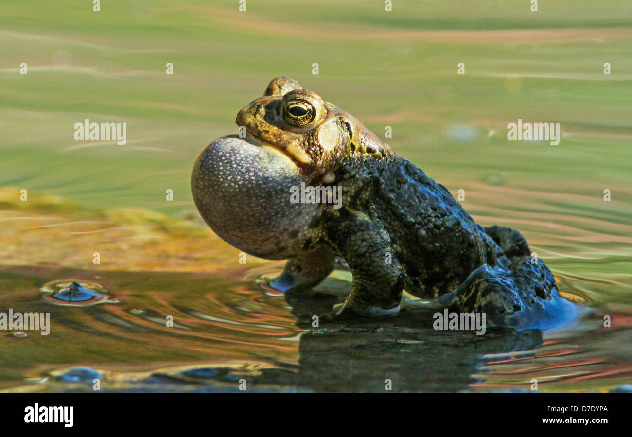Male Eastern American toad (Bufo americanus a.) singing in spring Stock Photo