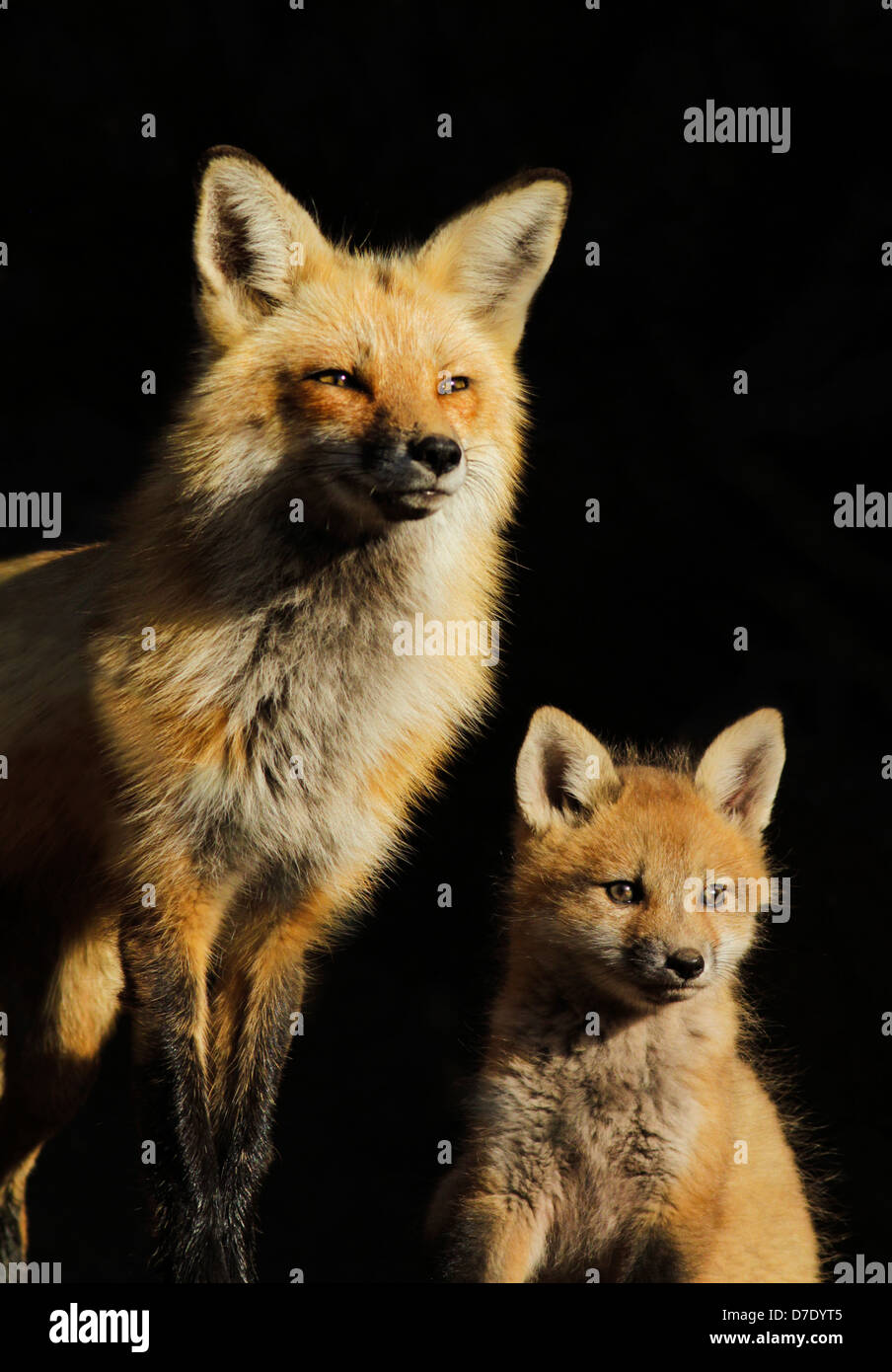 Family portrait. Female red fox with two month pup isolated on black background. - Stock Image