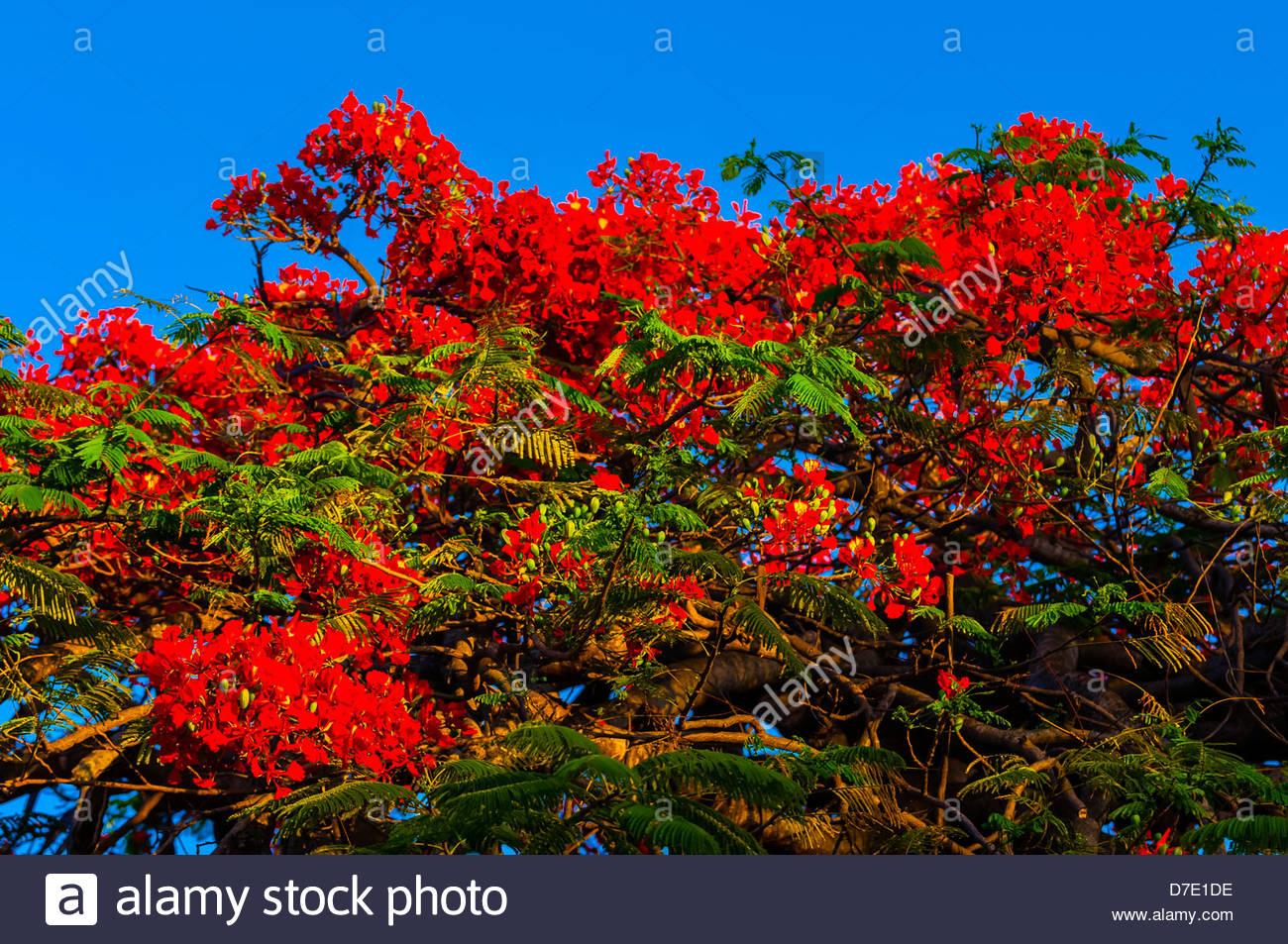 Royal poinciana tree (flame tree), Key West, Florida Keys, Florida USA - Stock Image