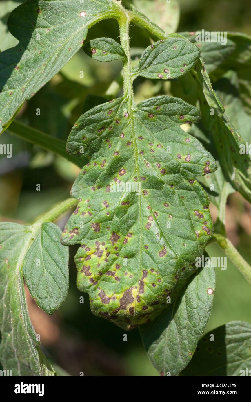 Tomato Disease, Septoria Leaf Spot - Stock Image