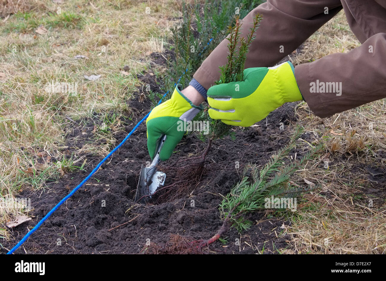 Hecke pflanzen Eibe - planting a taxus hedge 01 - Stock Image