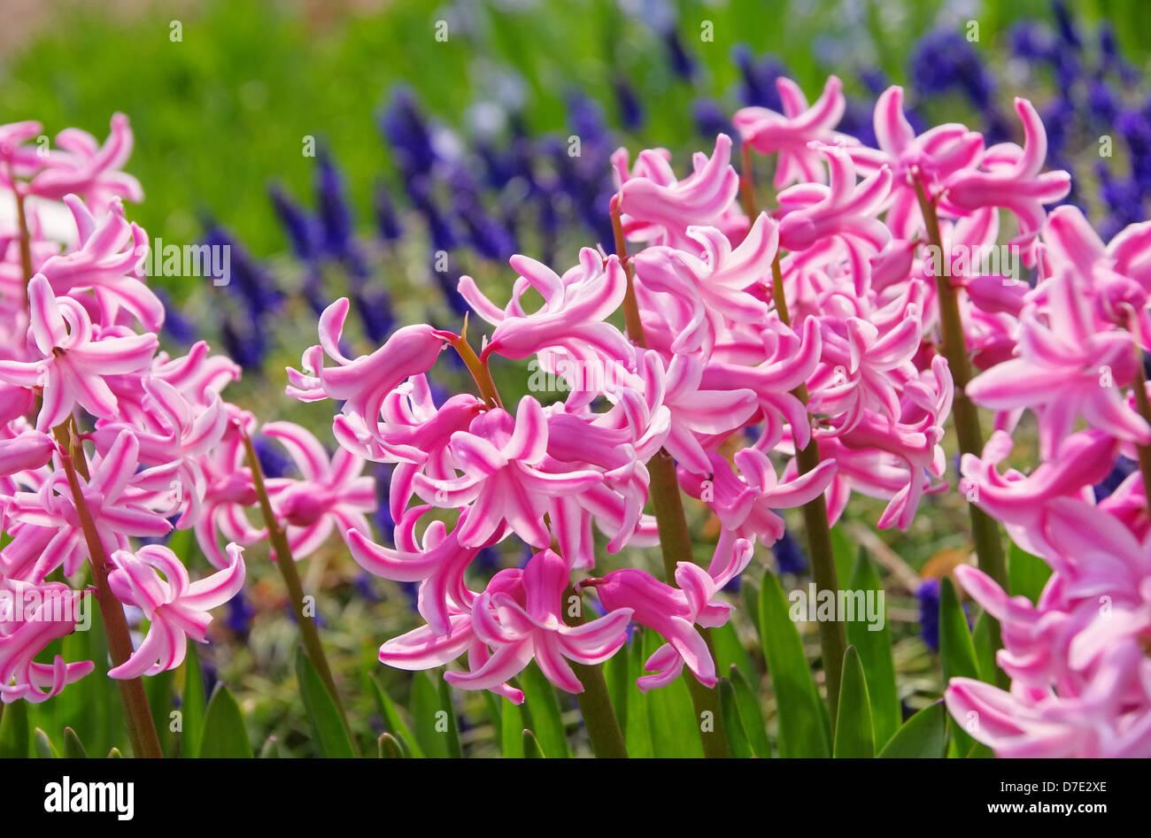 Hyazinthe - hyacinth 04 Stock Photo