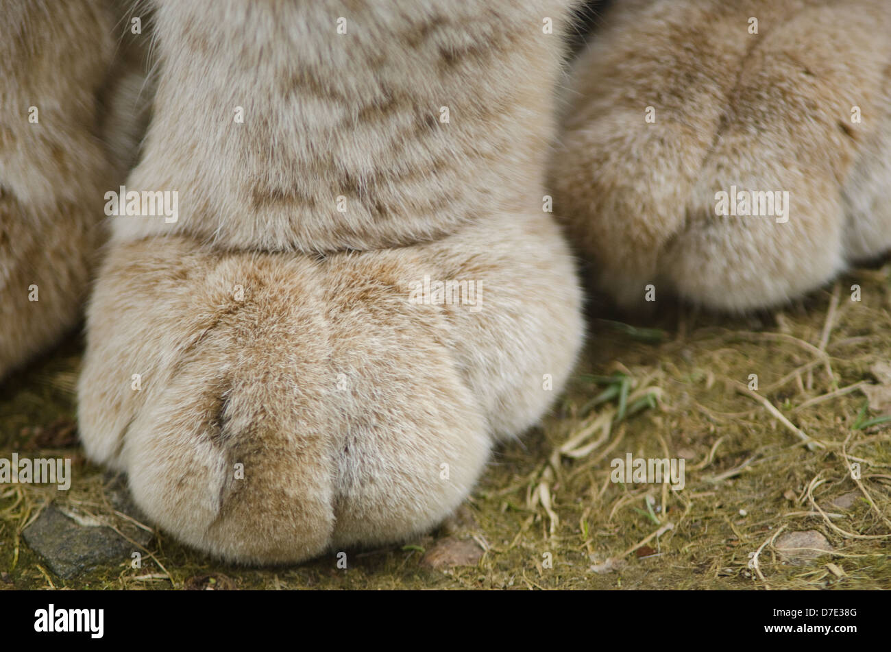 Closeup of a paw of the Eurasian Lynx, Lynx lynx - Stock Image