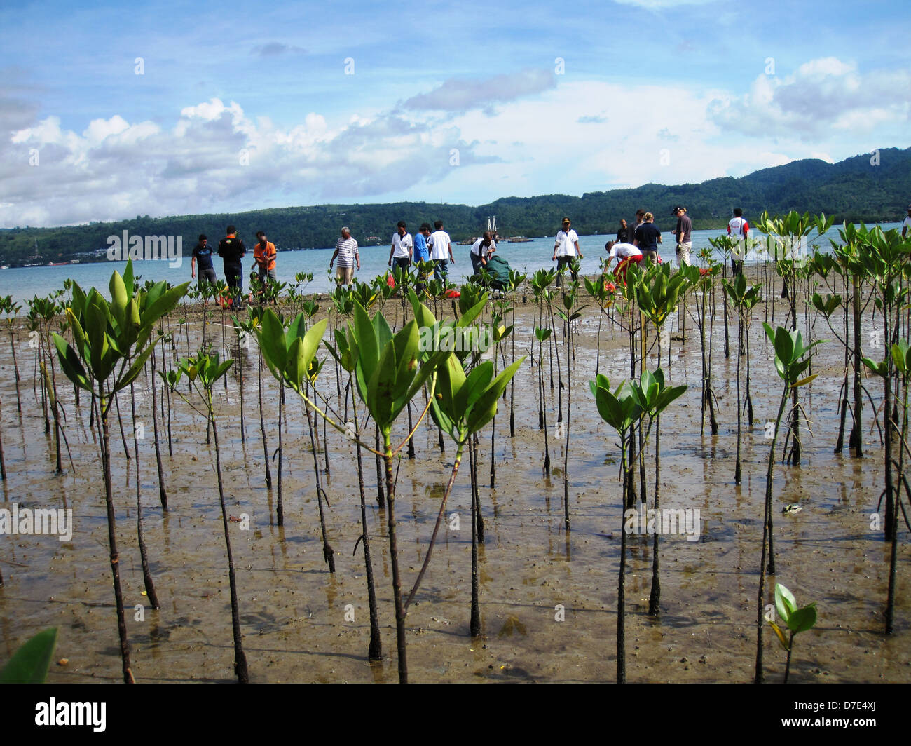 Volunteers plant hundreds of mangrove trees along the coast of Ambon Island to restore and preserve the coastline Stock Photo