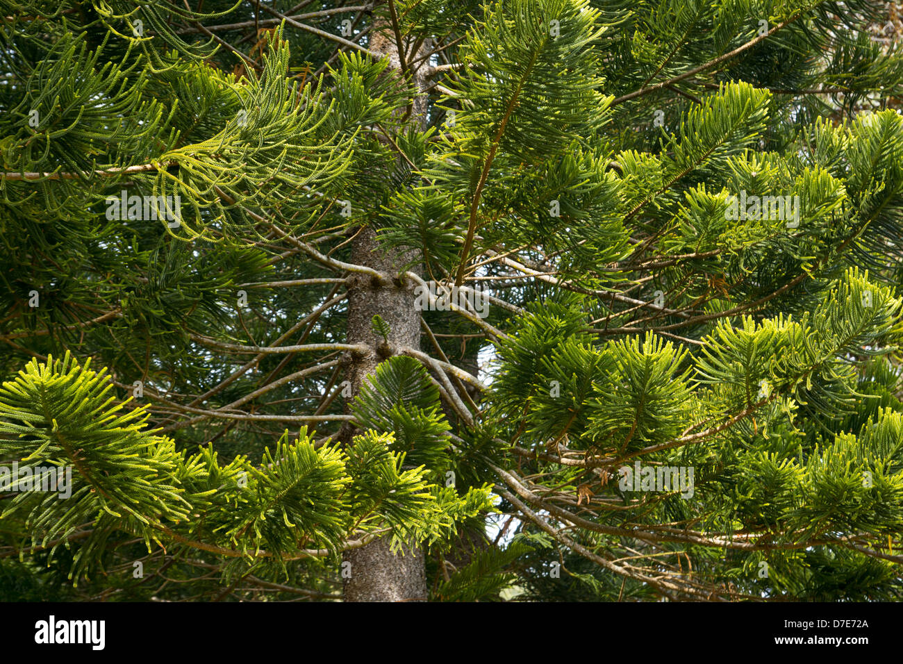 New Caledonia Pine Stock Photos Amp New Caledonia Pine Stock