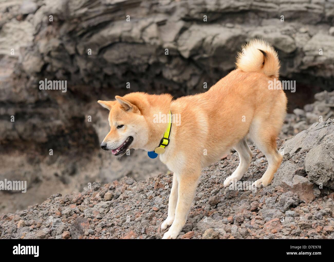 shiba inu on a hike Stock Photo