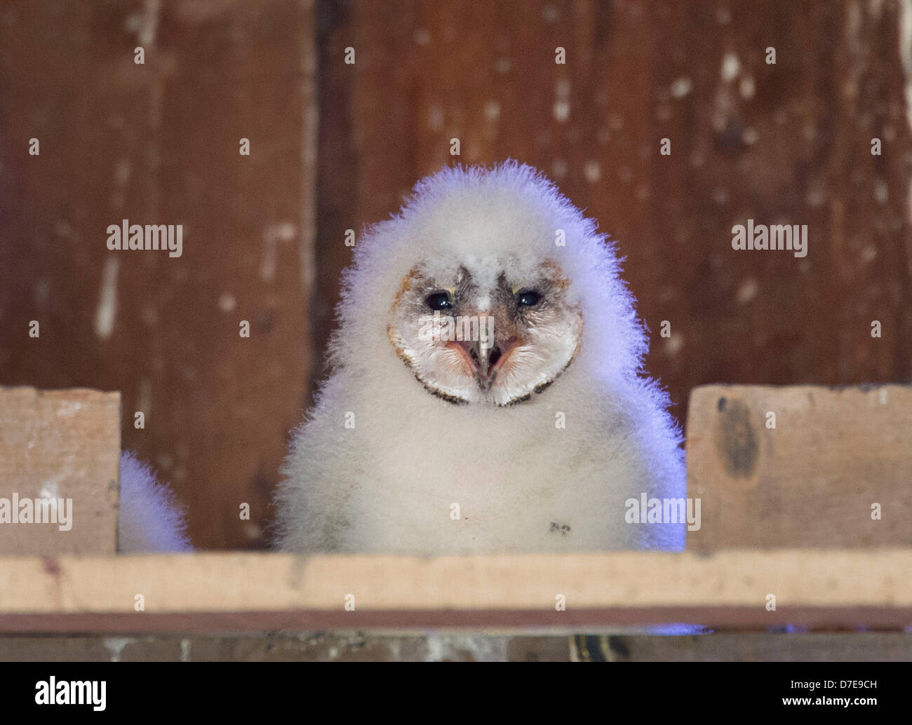 Roseburg, Oregon, USA. 5th May 2013. A barn owl owlet sits in its nest box high in the peak of a barn on a farm Stock Photo