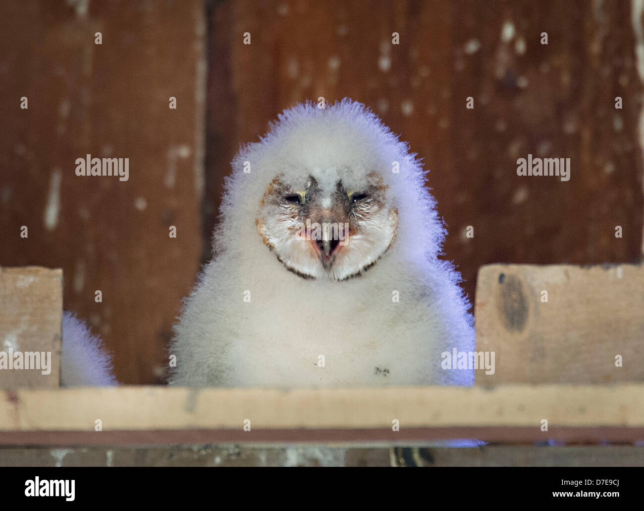 Roseburg, Oregon, USA. 5th May 2013. A barn owl owlet sit in its nest box high in the peak of a barn on a farm in Stock Photo