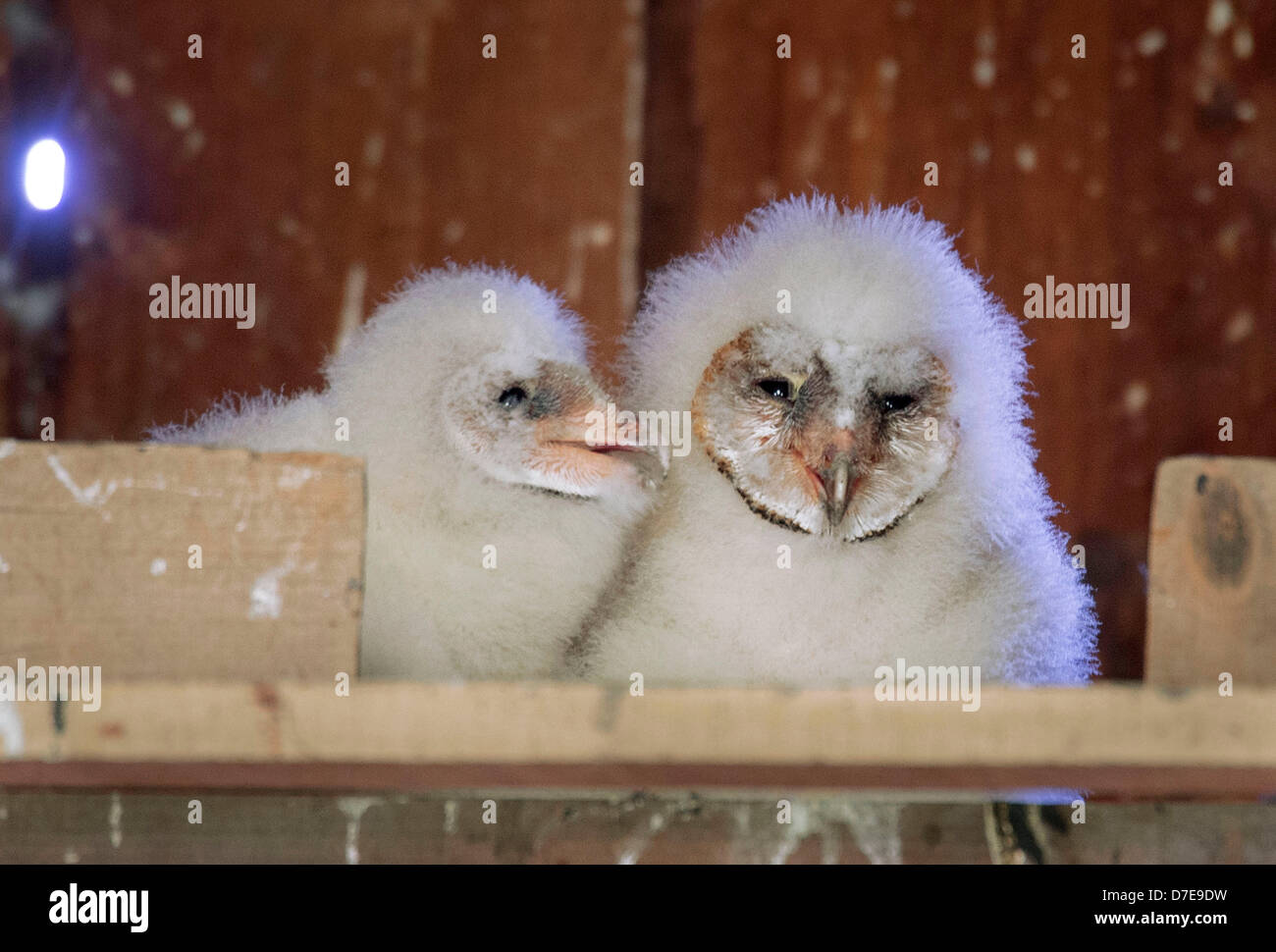 Roseburg, Oregon, USA. 5th May 2013. A pair of barn owl owlets sit in their nest box high in the peak of a barn Stock Photo