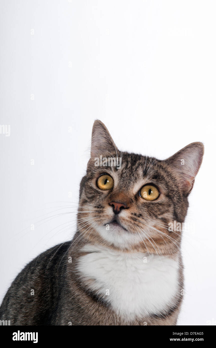 A female domestic Tabby house cat with bright yellow eyes looking upwards with white background - Stock Image
