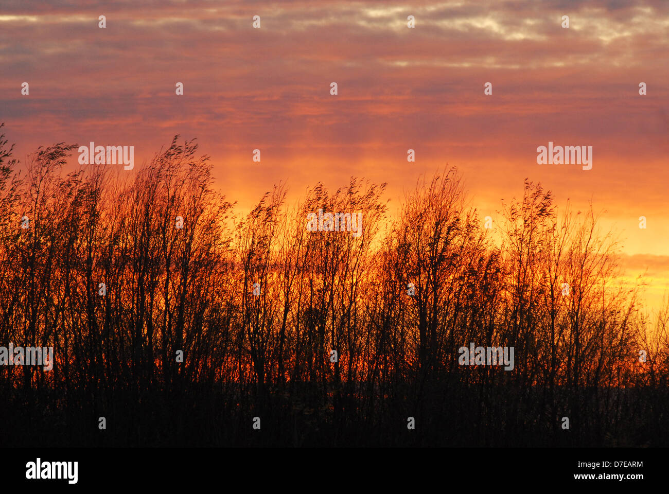 Winter sunset through leafless trees near the old Siberian town Tobolsk. Russia - Stock Image
