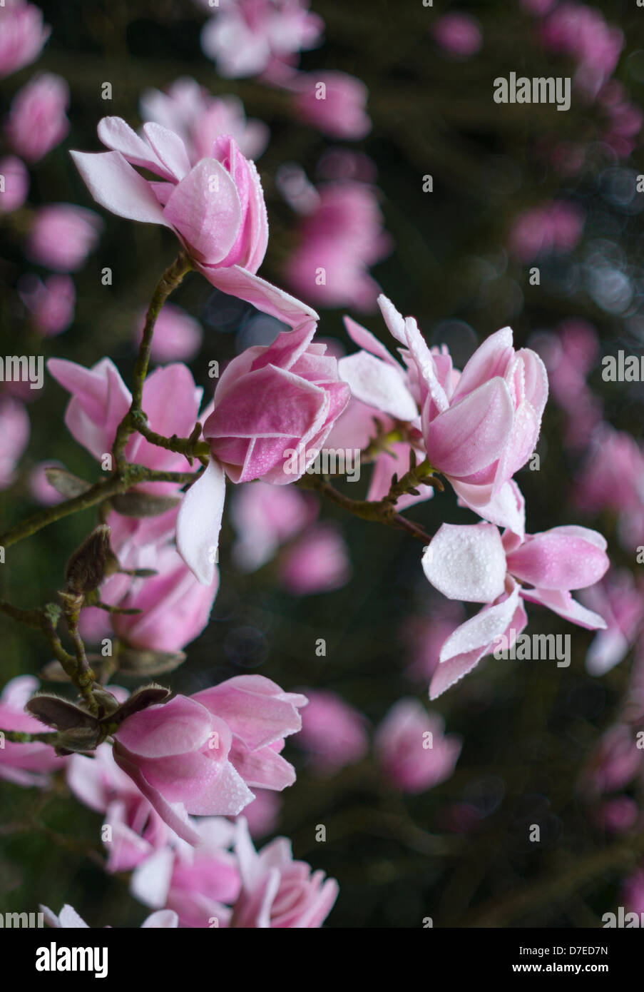 Campbell's Magnolia (Magnolia campbellii var. mollicomata) in bloom at the start  of spring Stock Photo