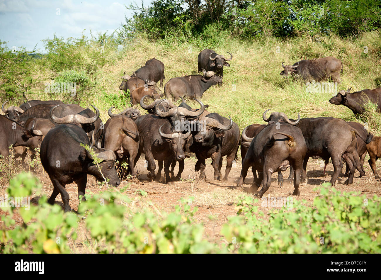 Herd of buffalo rampage in the savannah in South Africa. - Stock Image