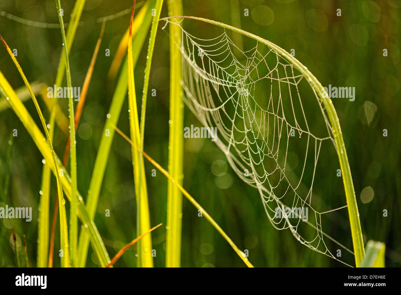 Dewy orb webs and grass spider webs at the edge of a beaver pond Greater Sudbury  Ontario Canada - Stock Image