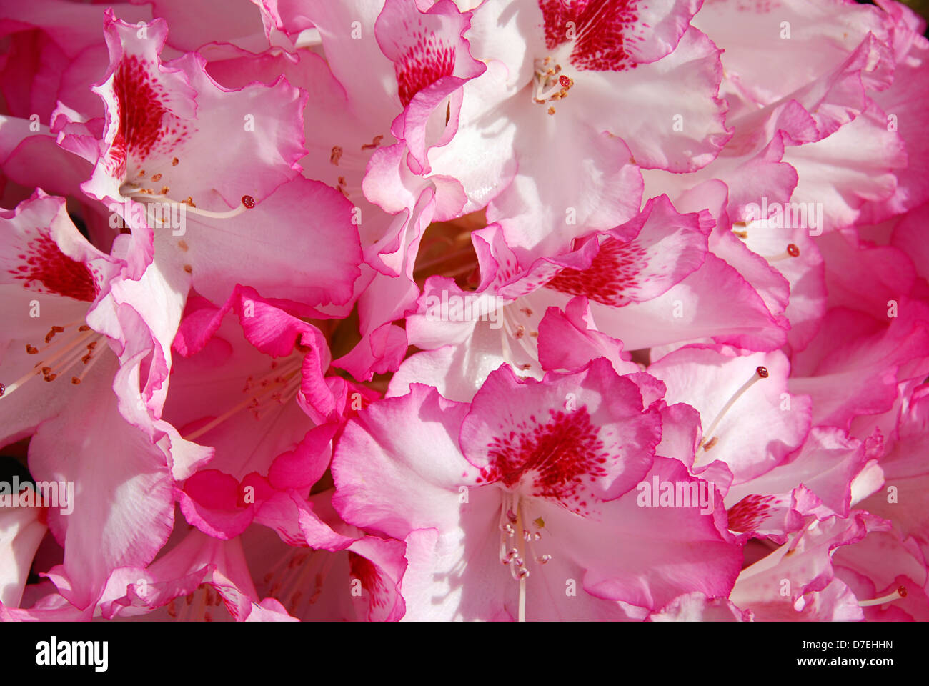 Beautiful pink rhododendron flower background - fresh colors of spring - Stock Image