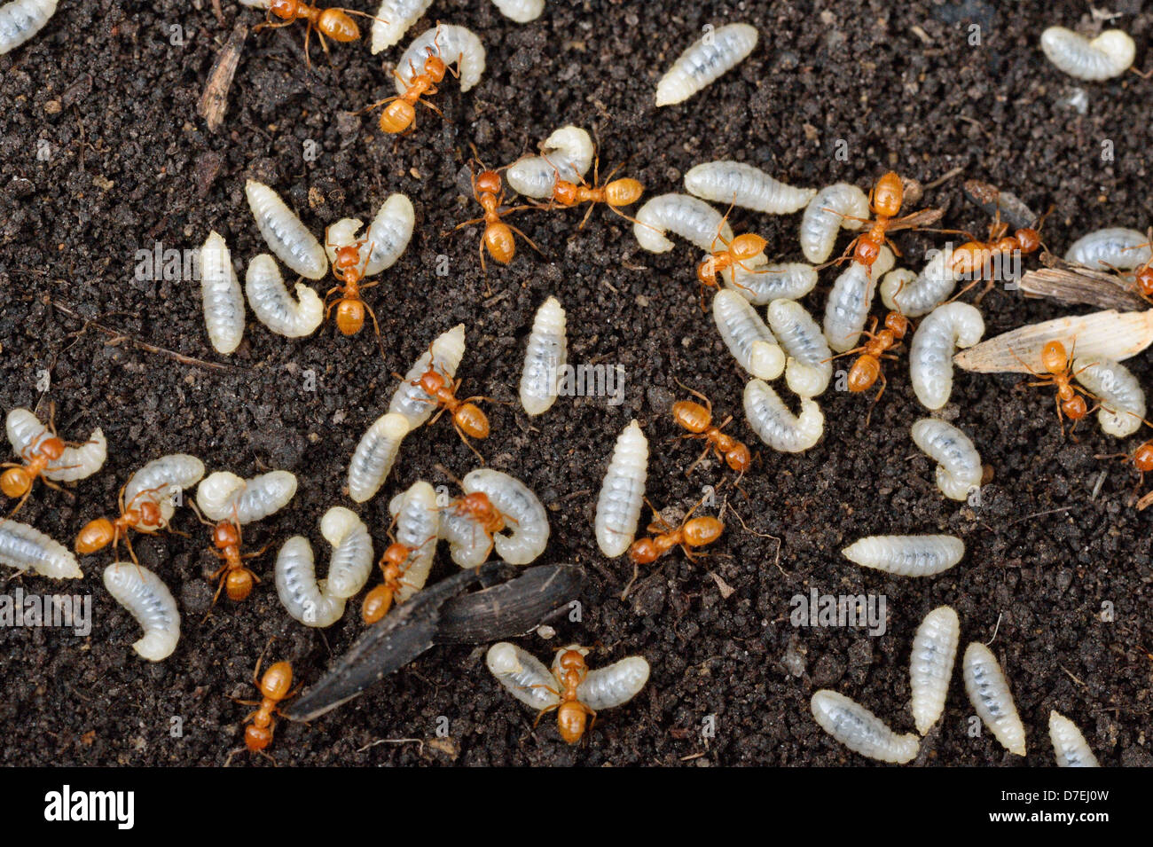 Golden ant/Garden ant Lasius spp. Worker ants caring to larvae after nest was uncovered Greater Sudbury Ontario - Stock Image