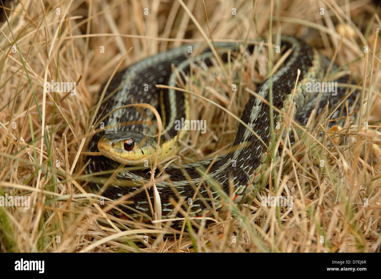 Common garter snake Thamnophis sirtalis Coiled sunning itself in dead grass Greater Sudbury  Ontario Canada - Stock Image