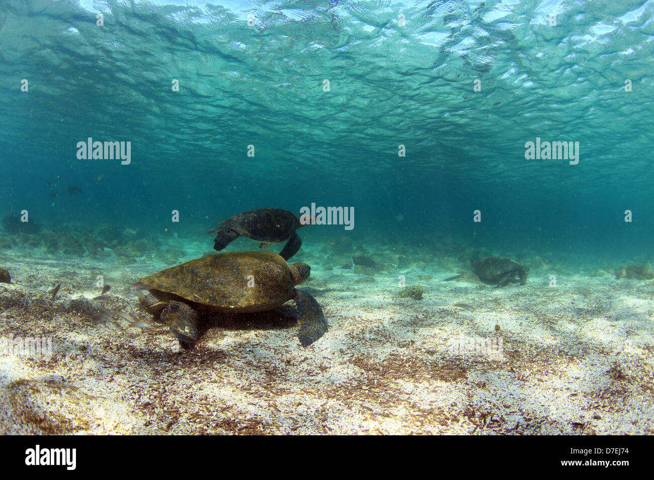 Sea turtles underwater in low tide lagoon, Galapagos Islands - Stock Image