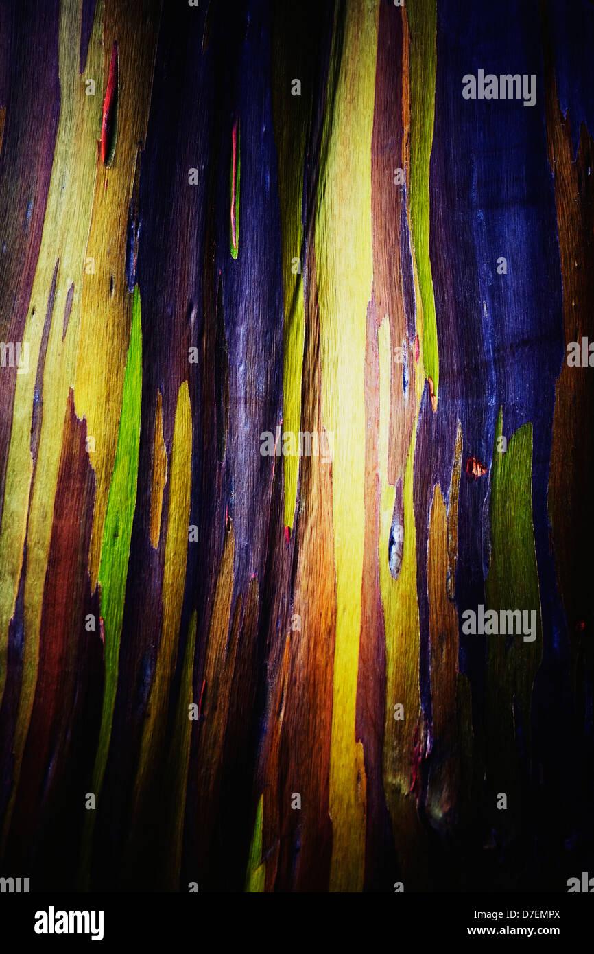 Hawaii, Oahu, Close up of the bark of a Rainbow Eucalyptus tree. - Stock Image