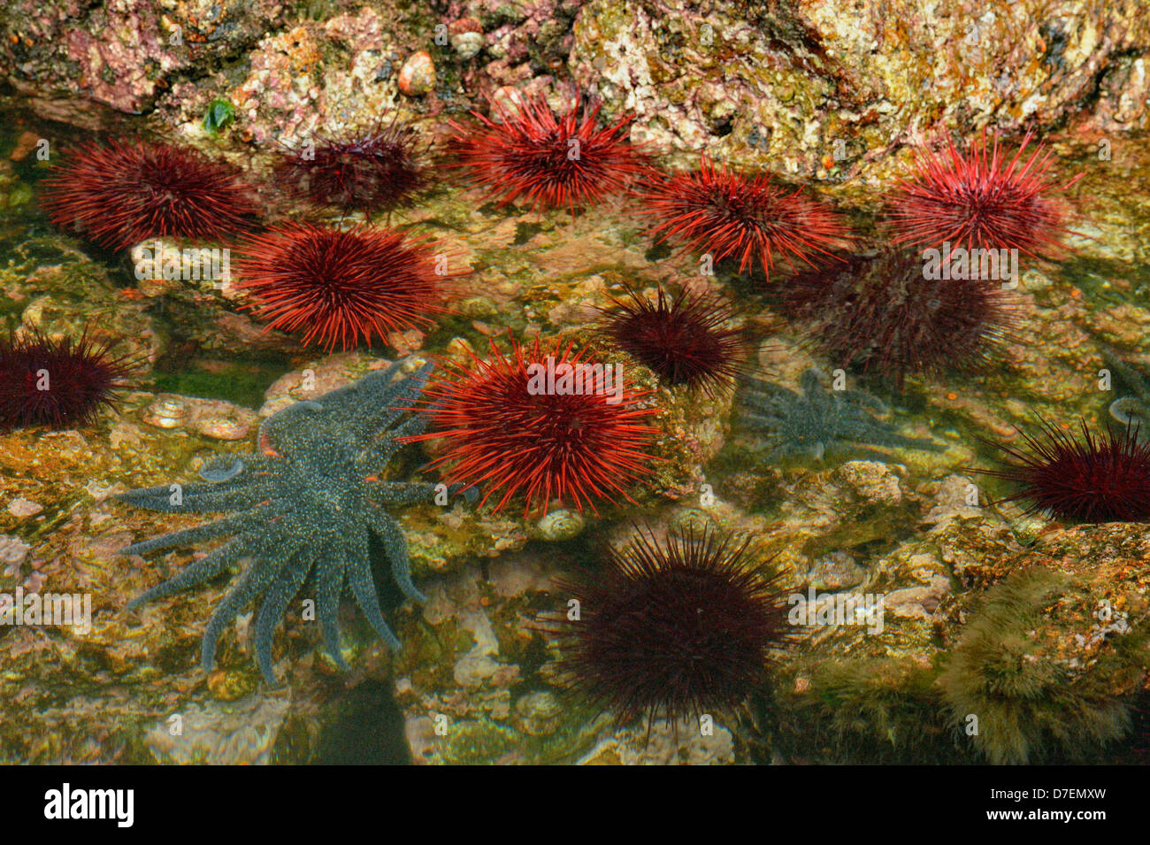 Intertidal organisms at low tide red sea urchins Haida Gwaii Queen Charlotte Islands Gwaii Haanas NP British Columbia - Stock Image