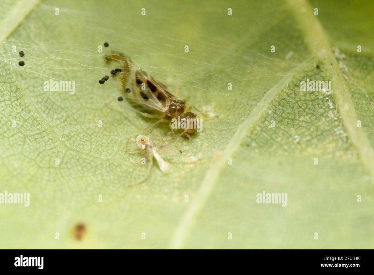 Graphopsocus cruciatus inside her nest - Stock Image