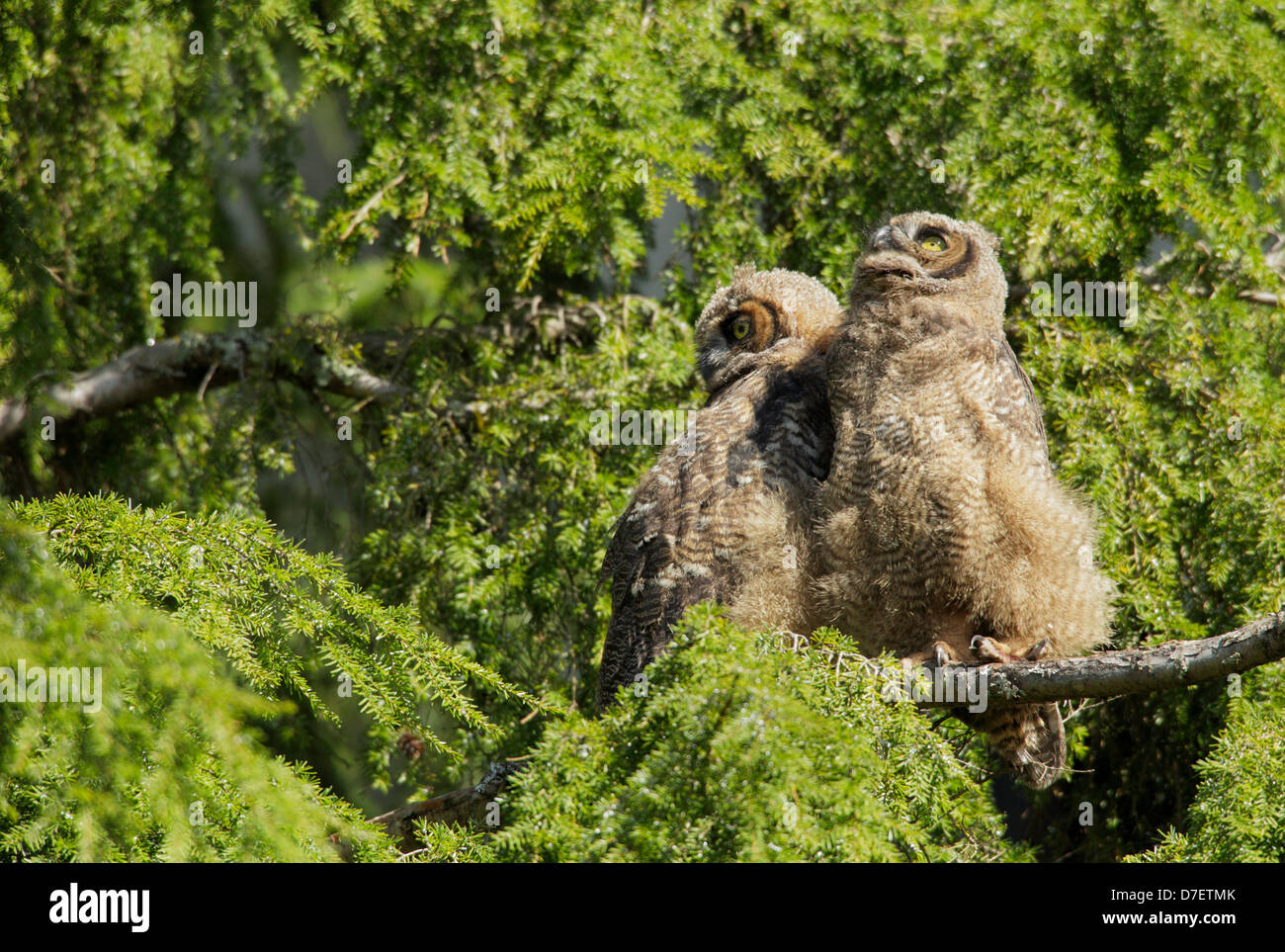 Great horned owl owlet fledglings perched in fir tree-Victoria, Vancouver Island British Columbia, Canada. - Stock Image
