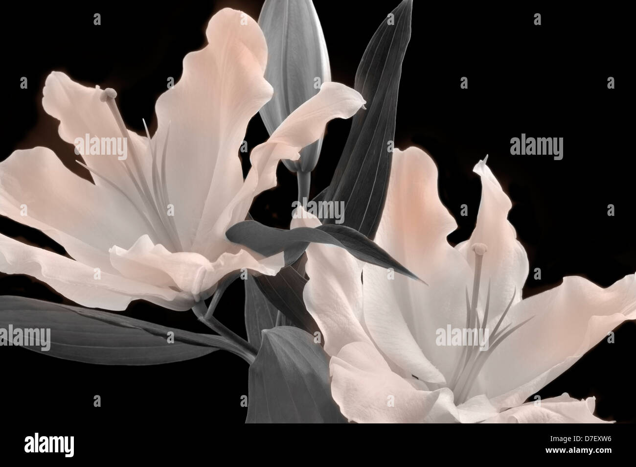 White Oriental Lily. - Stock Image