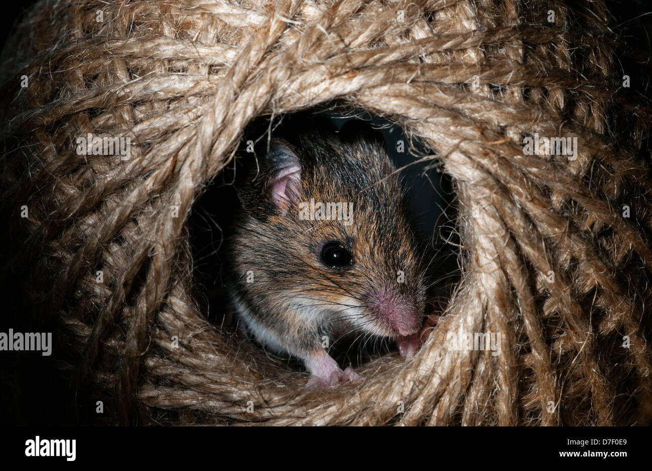 Wood mouse hiding in a ball of string - Stock Image