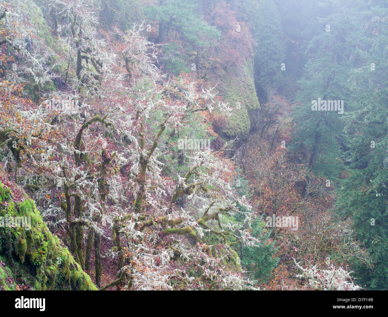 Oak trees with moss and fall color and gog. Eagle Creek Trail. Columbia River Gorge National Scenic Area, Oregon - Stock Image