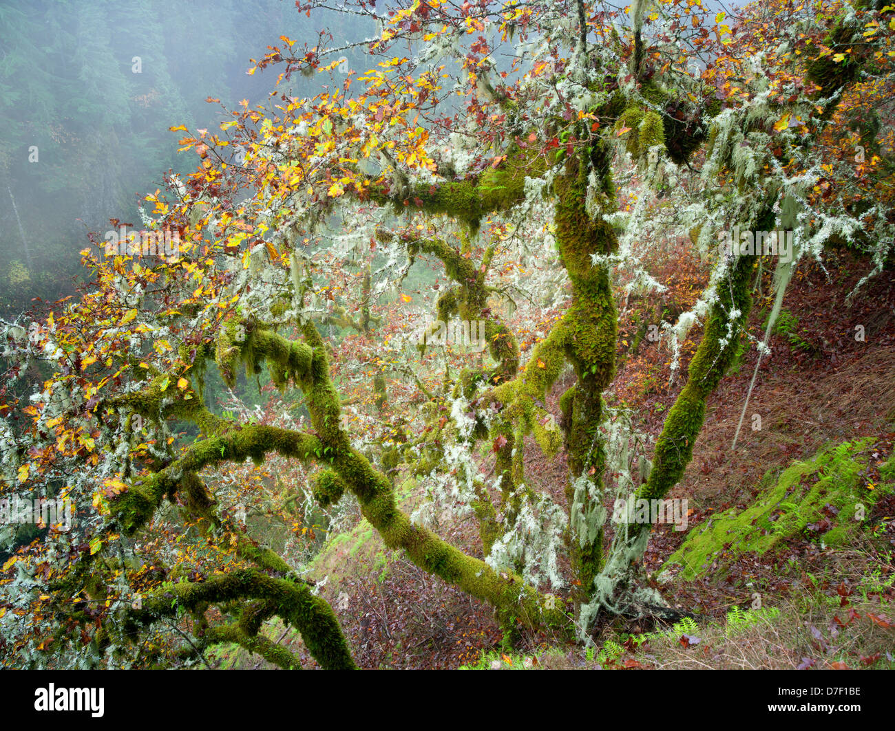 Oak trees with moss and fall color and gog. Eagle Creek Trail Stock ...