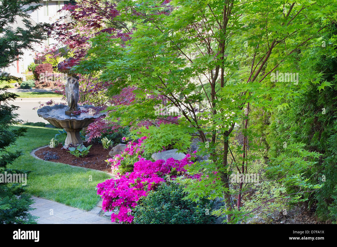Coral Bark Japanese Maple Tree In Front Law With Water Fountain And Blooming Pink Azalea Flowers