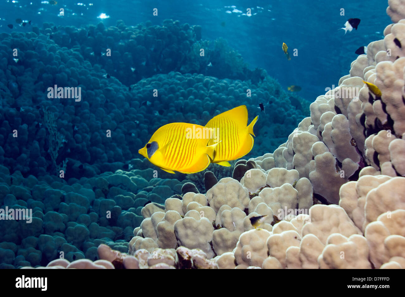 Golden butterflyfish (Chaetodon semilarvatus) swimming over coral reef. Egypt, Red Sea. Red Sea endemic. - Stock Image
