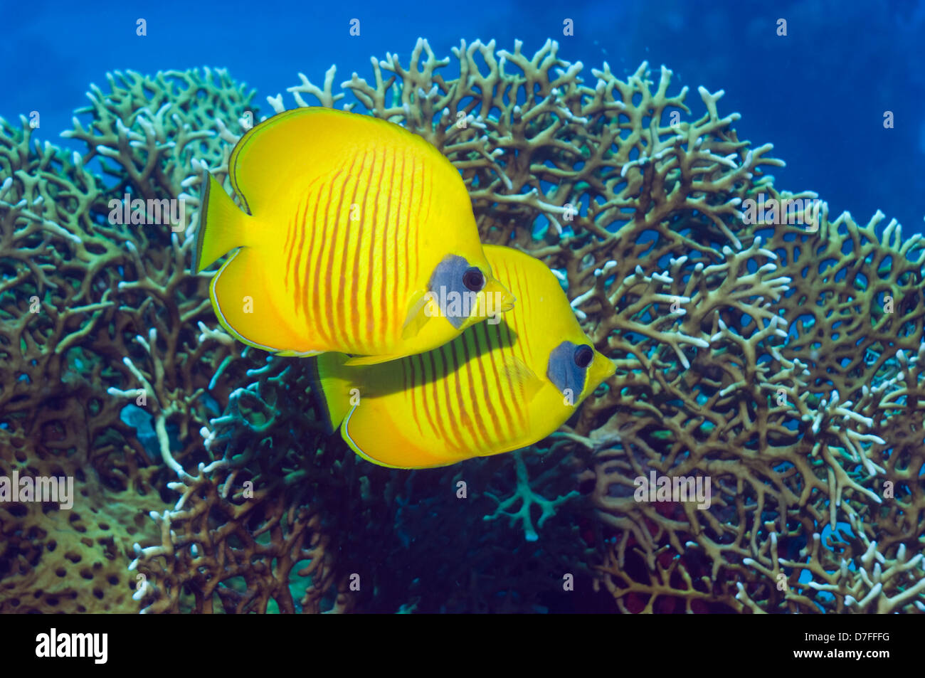 Masked butterflyfish (Chaetodon semilarvatus) with fire coral (Millepora dichotoma). Egypt, Red Sea. Red Sea endemic. - Stock Image