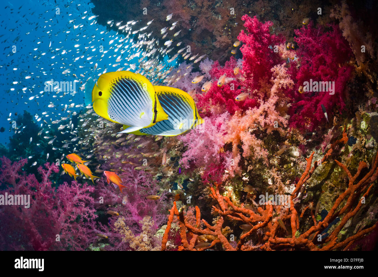 Blackback butterflyfish over coral reef with soft corals - Stock Image