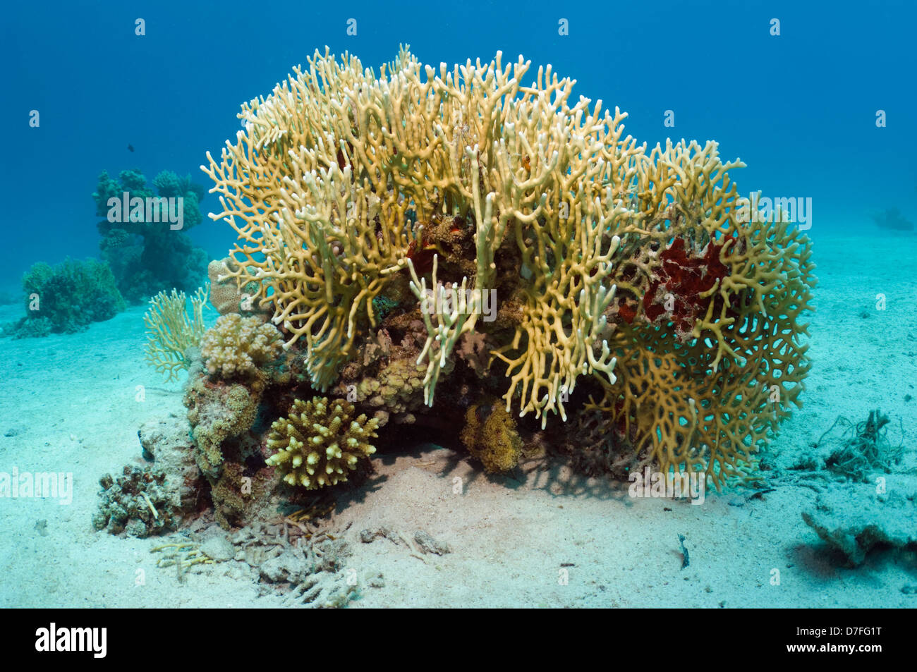 Fire coral (Millepora dichotoma). Egypt, Red Sea. - Stock Image