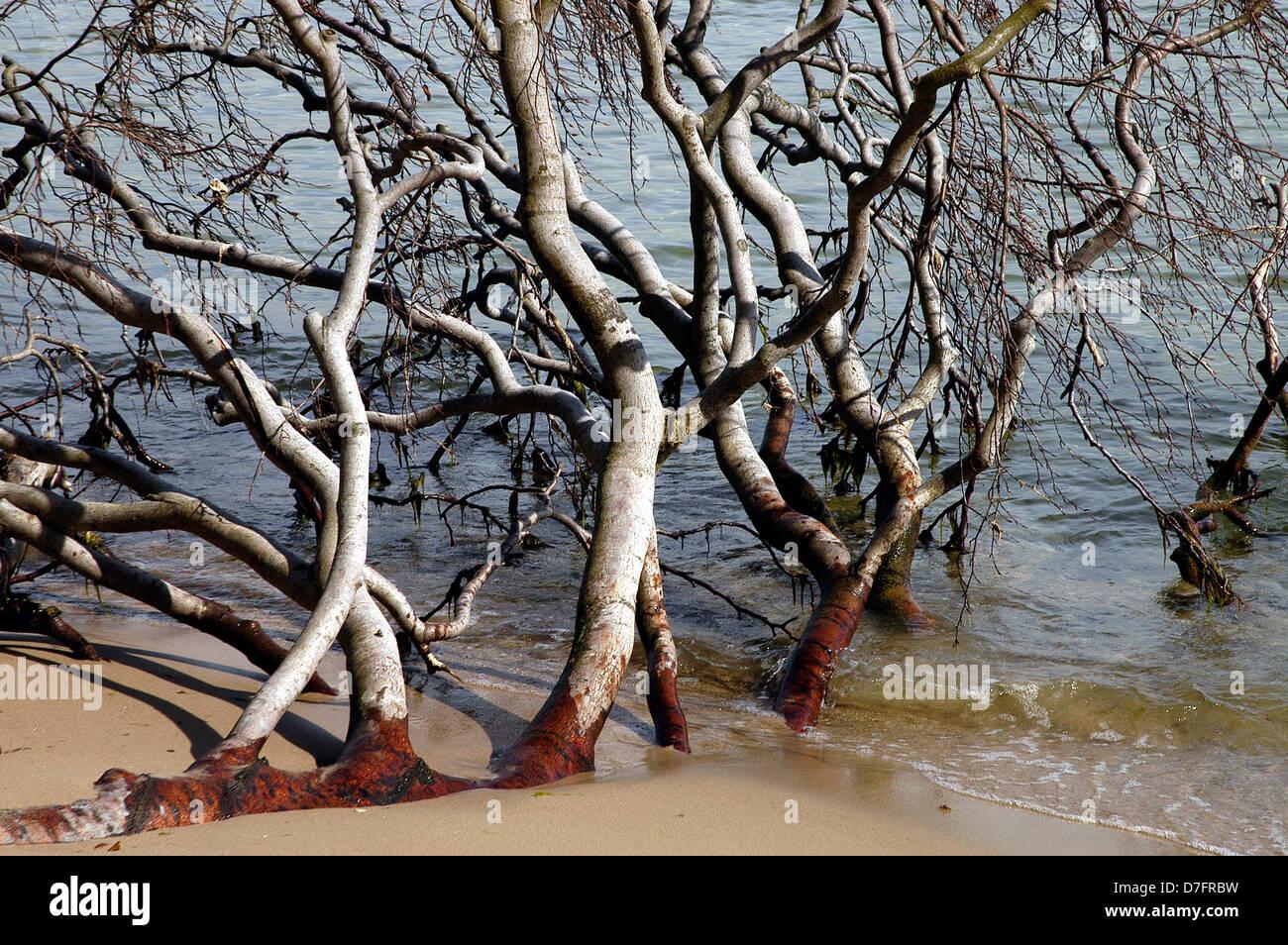 Germany, Island of Ruegen, tree in the water - Stock Image