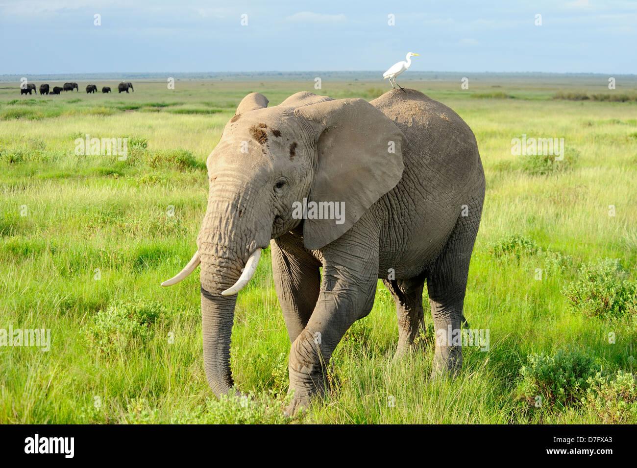 Elephant in Amboseli National Park, Kenya, East Africa - Stock Image