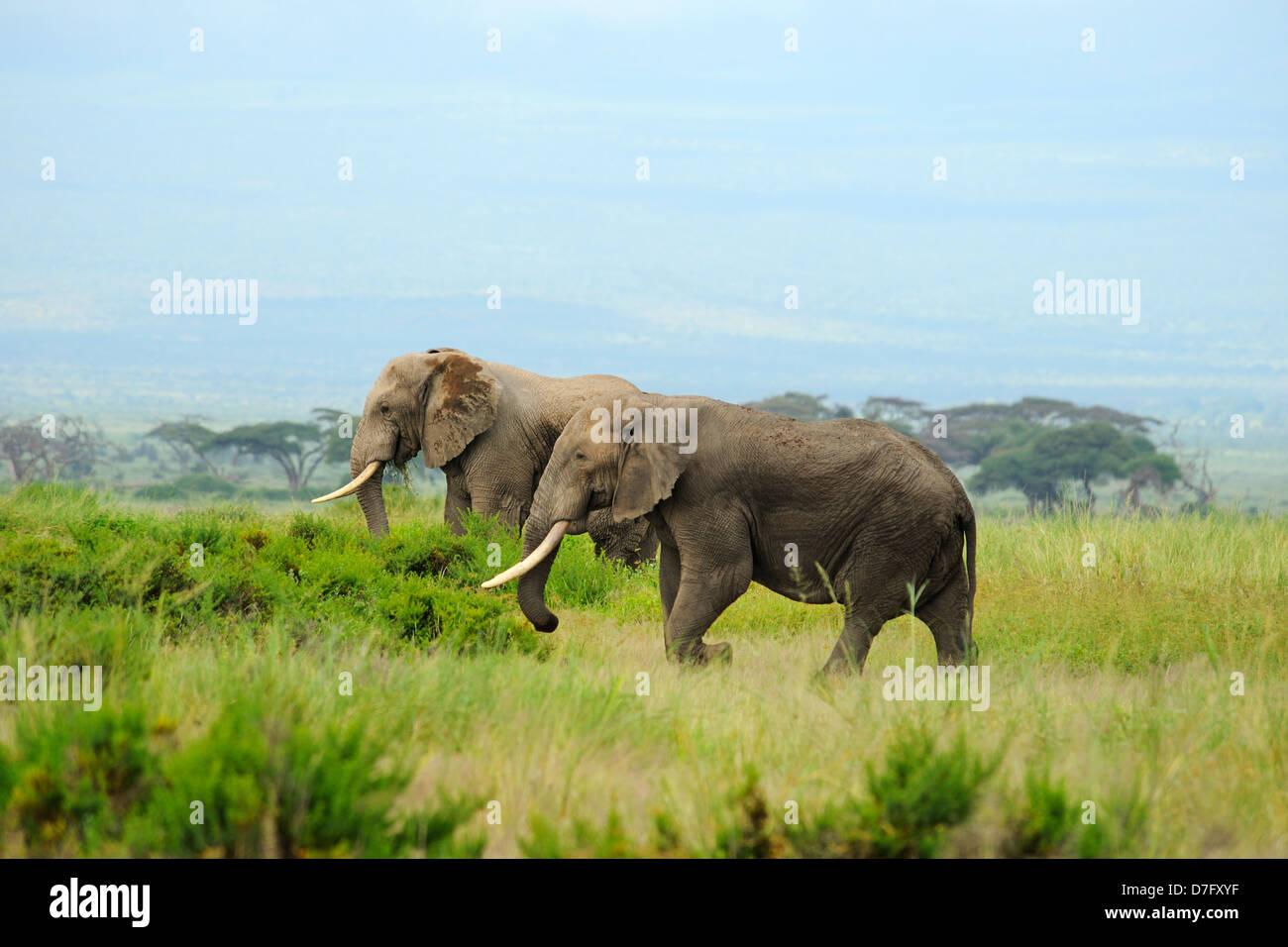 Elephants in Amboseli National Park, Kenya, East Africa - Stock Image