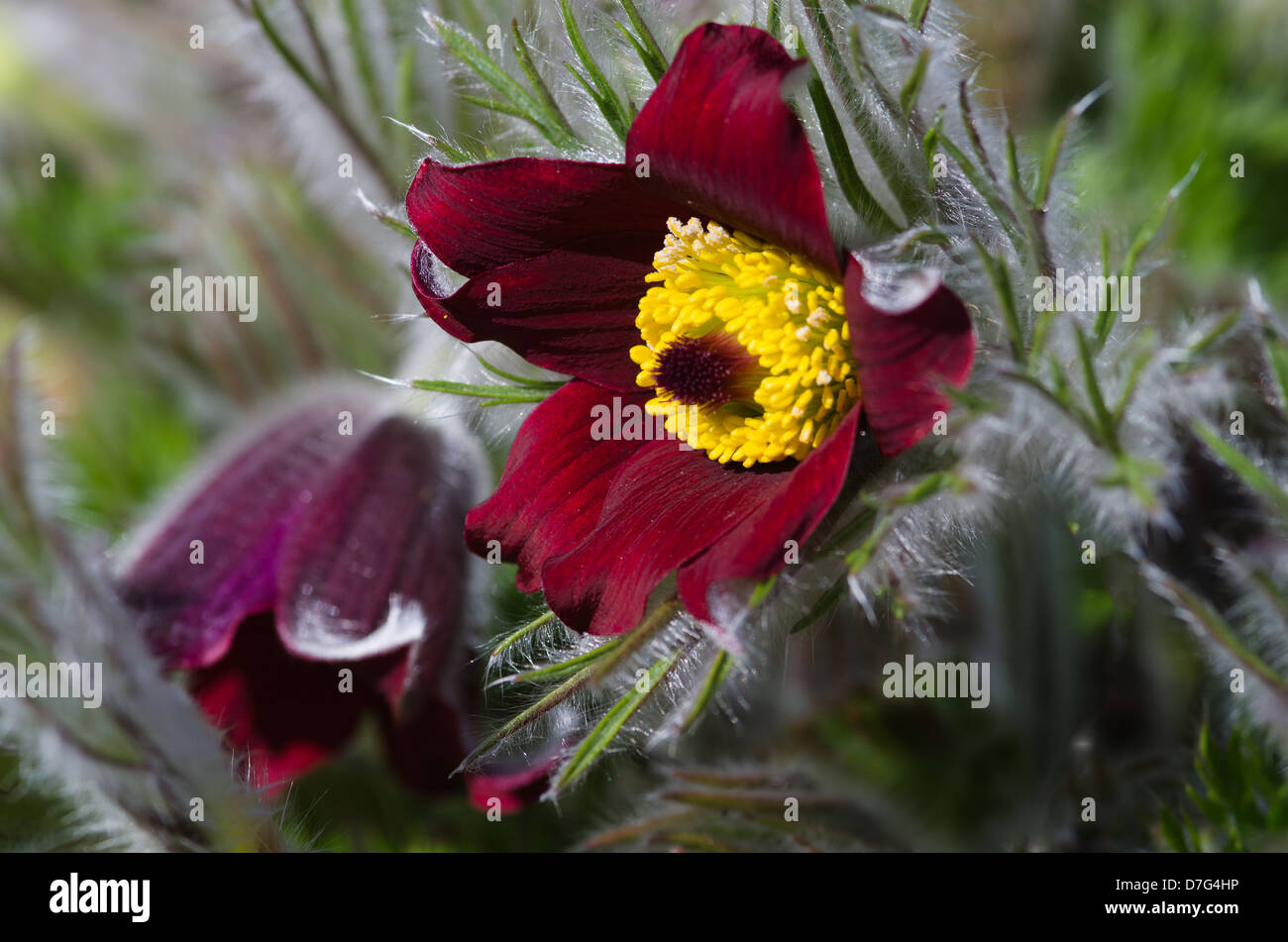 Maroon Pulsatilla  - pasque flower - Stock Image