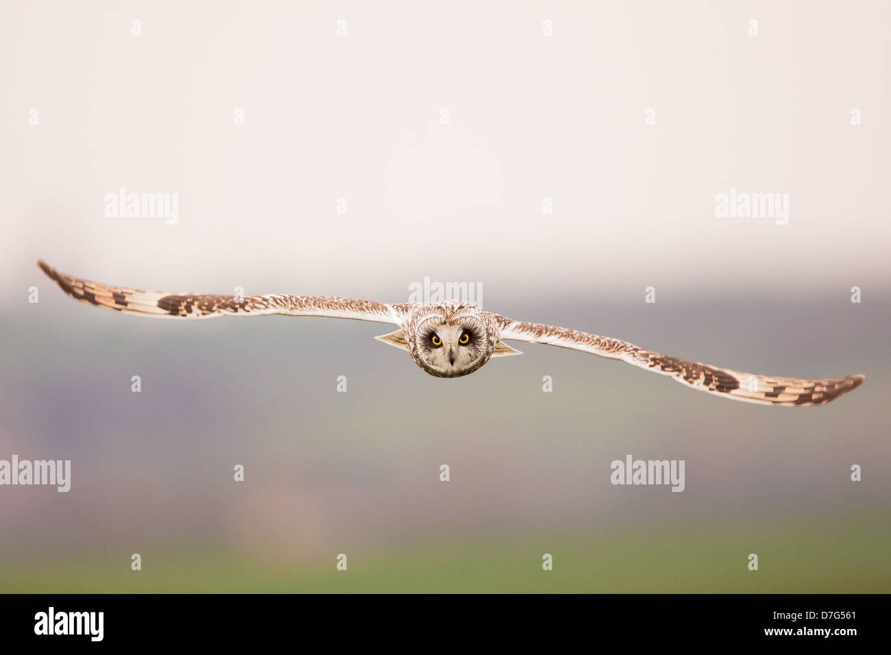 A short-eared owl (Asio flammeus) in flight, hunting over farmland - Stock Image