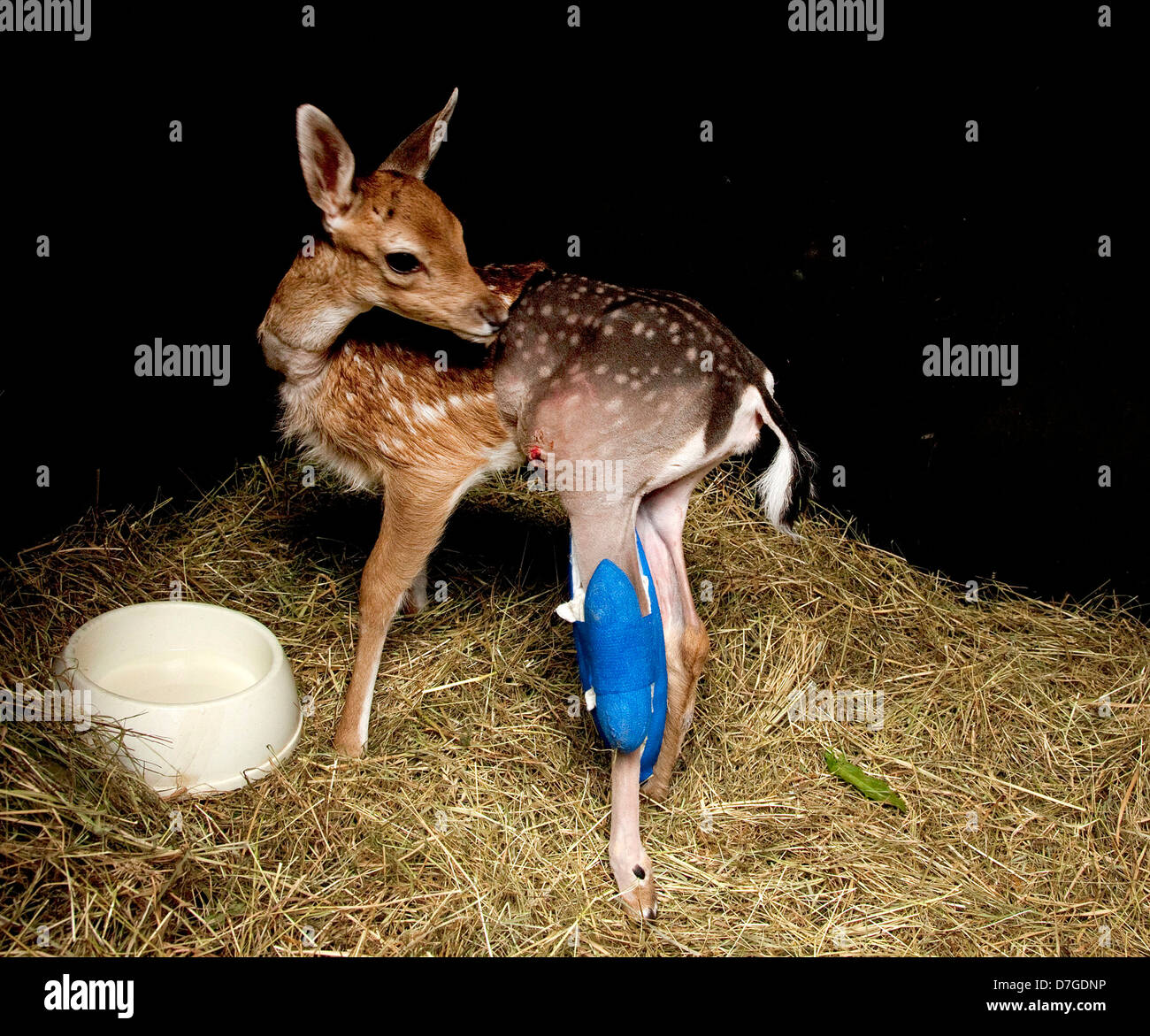 Female Fallow Deer in intensive care shed - Stock Image