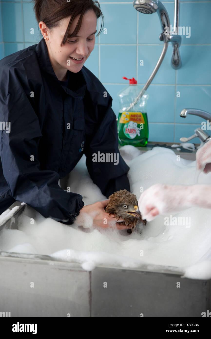 Veterinary Nurse washing oiled Red Kite - Stock Image