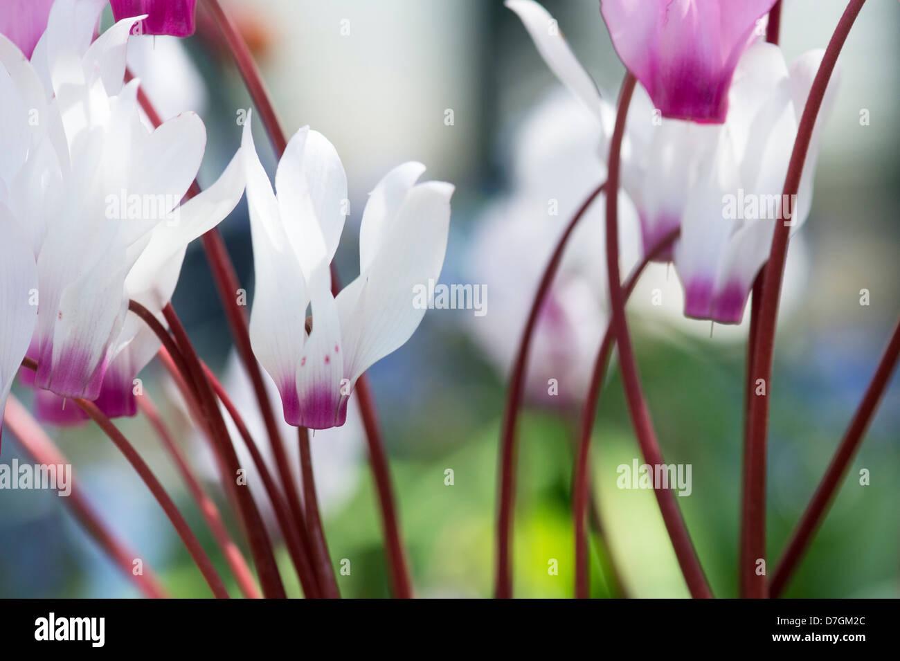 Cyclamen persicum. Persian cyclamen - Stock Image