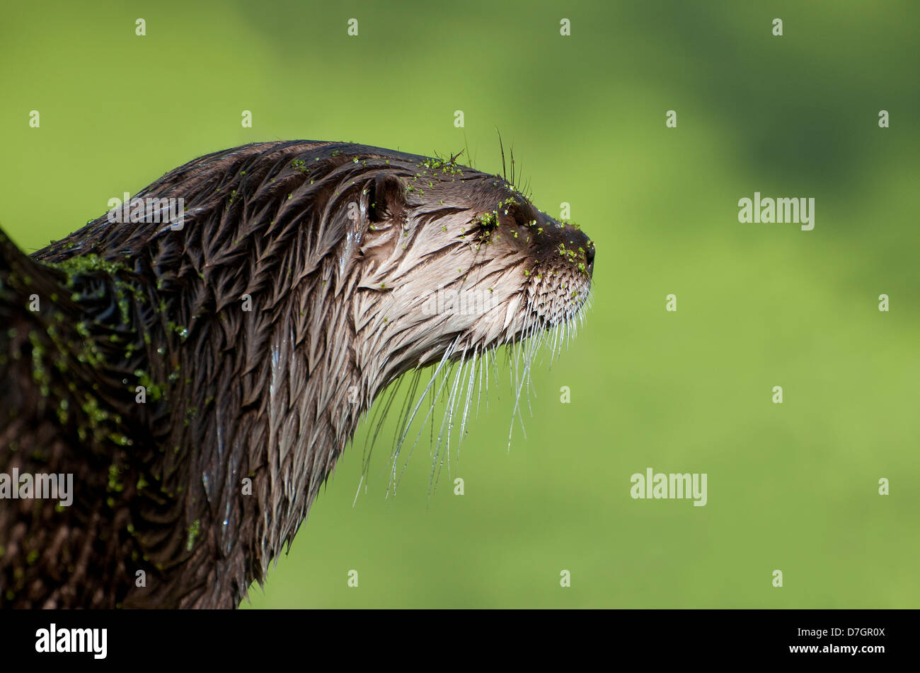 american river otter on green background - Stock Image
