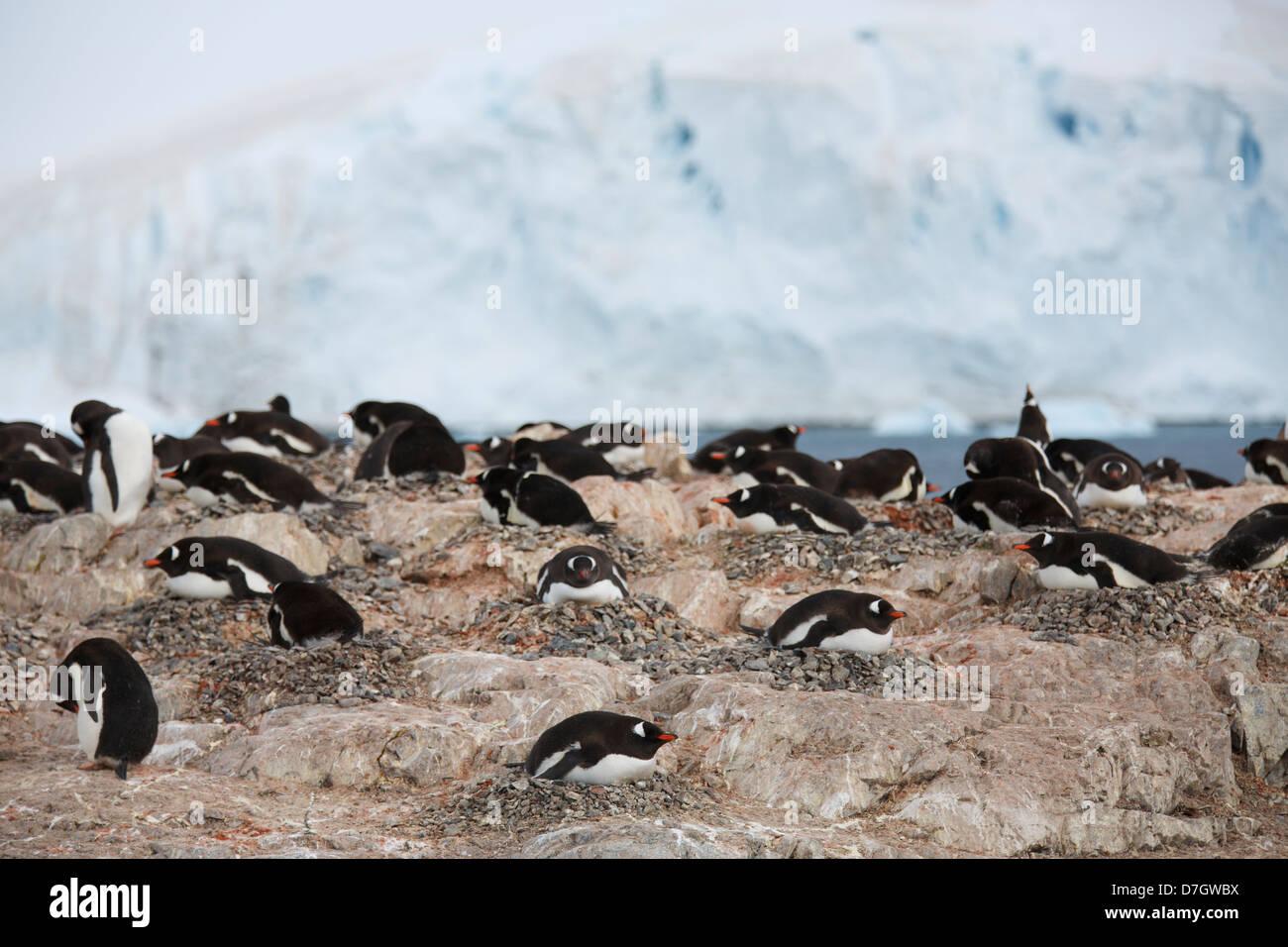 A Gentoo Penguin colony (Pygoscelis papua) on Cuverville Island, Antarctica. - Stock Image