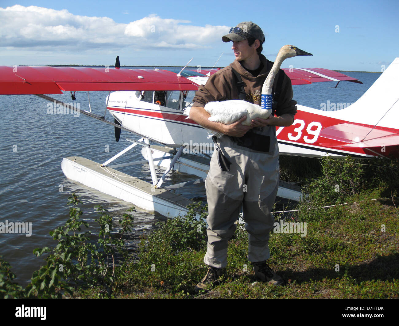 Biologist from the US Fish and Wildlife Service with a tagged trumpeter swan by a float plane July 28, 2010. Stock Photo