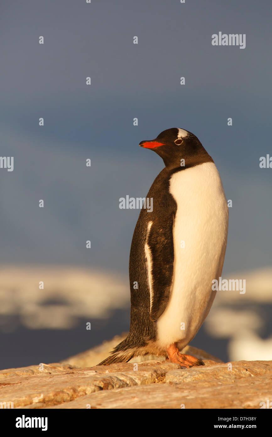 Gentoo Penguin, (Pygoscelis papua) colony, Booth Island, Antarctica. - Stock Image