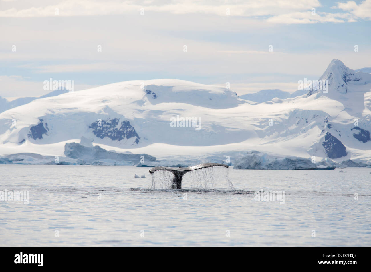 Humpback whale (Megaptera novaeangliae), Paradise Bay, Antarctica. - Stock Image