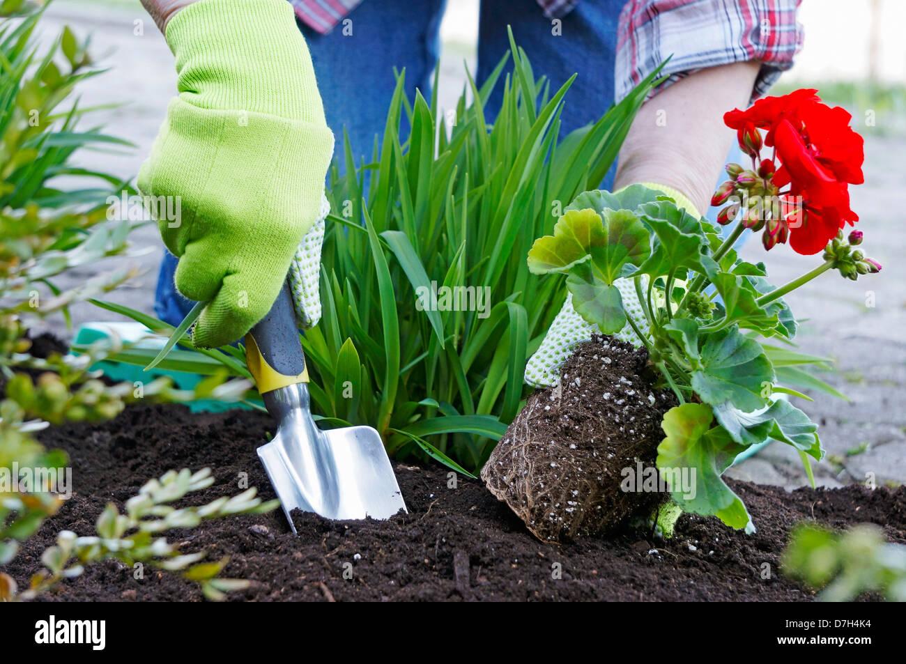 Gardening, Planting Flowers, Red Geranium - Stock Image