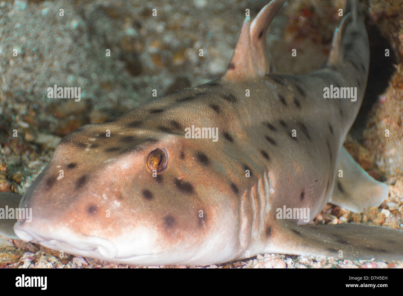 Horn shark off of La Paz, Mexico - Stock Image